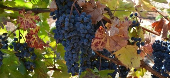 grapesopen-1500x694
